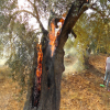 Palestinian Olive Agony | Land Research Center - LRC